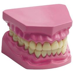 Dentadura con unión flexible para el aula