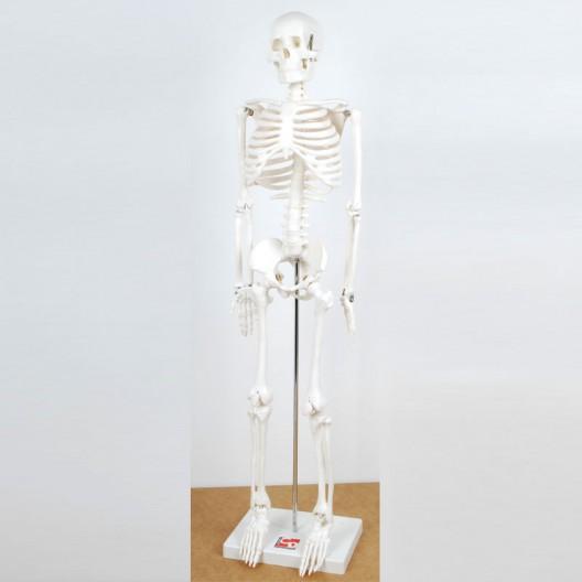 Esqueleto Mediano 85 cm para el aula