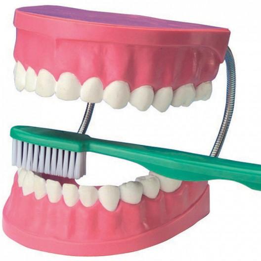 Dentadura grande para trabajar la higiene dental con cepillo para el aula