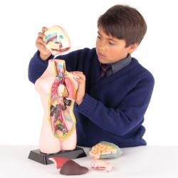 Torso Humano - Modelo anatómico de 50 cm