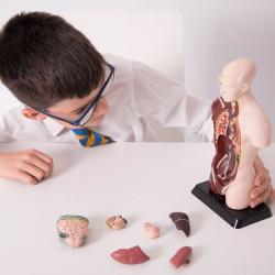Torso Humano - Modelo anatómico de 27 cm