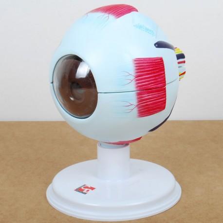 Ojo Humano - modelo anatómico para el aula - kinuma com